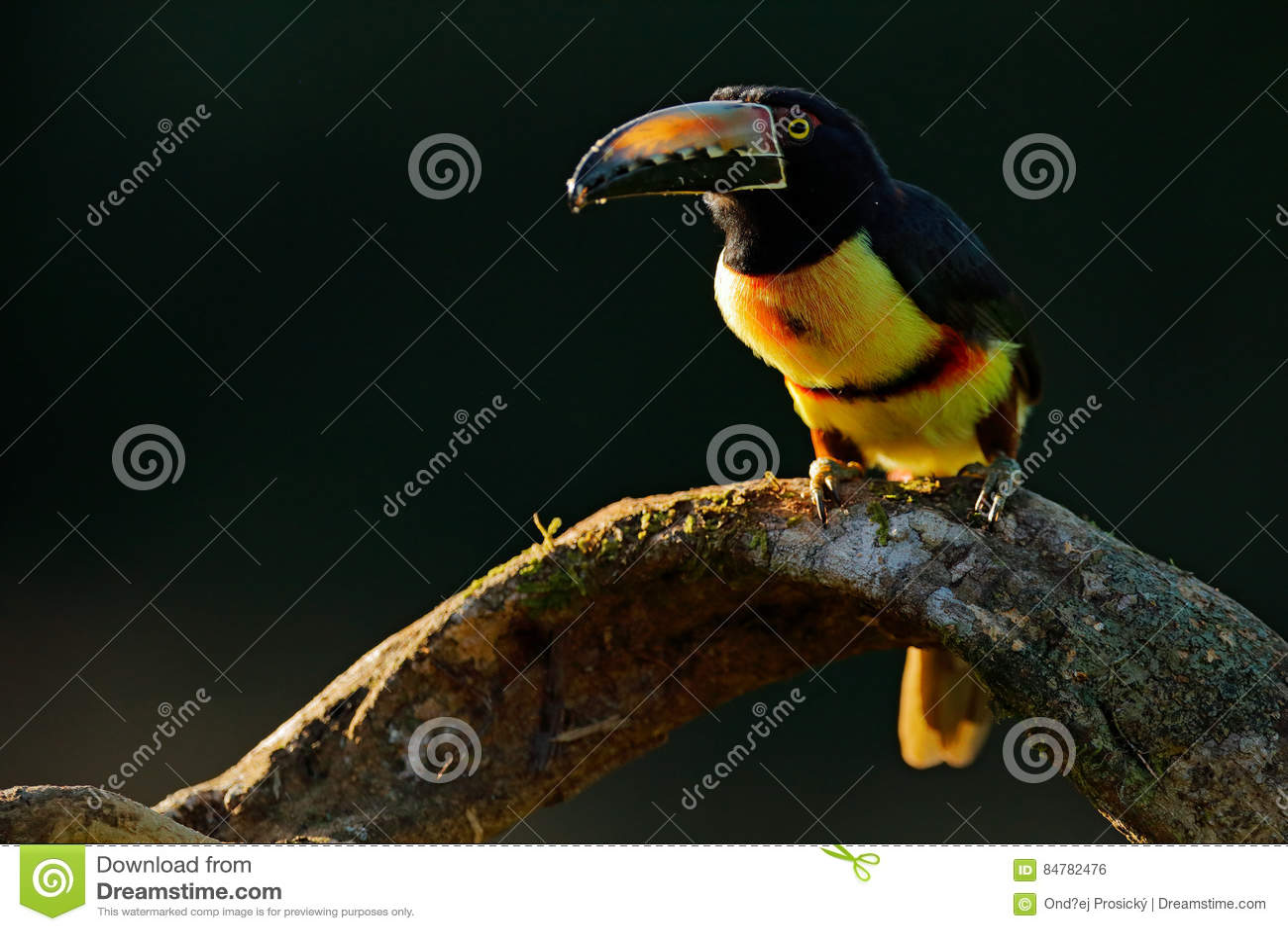 Toekanzitting op de tak in het bos, Boca Tapada, Laguna DE Lagarto Lodge, Costa Rica De reis van de aardvogel in centrale Americ