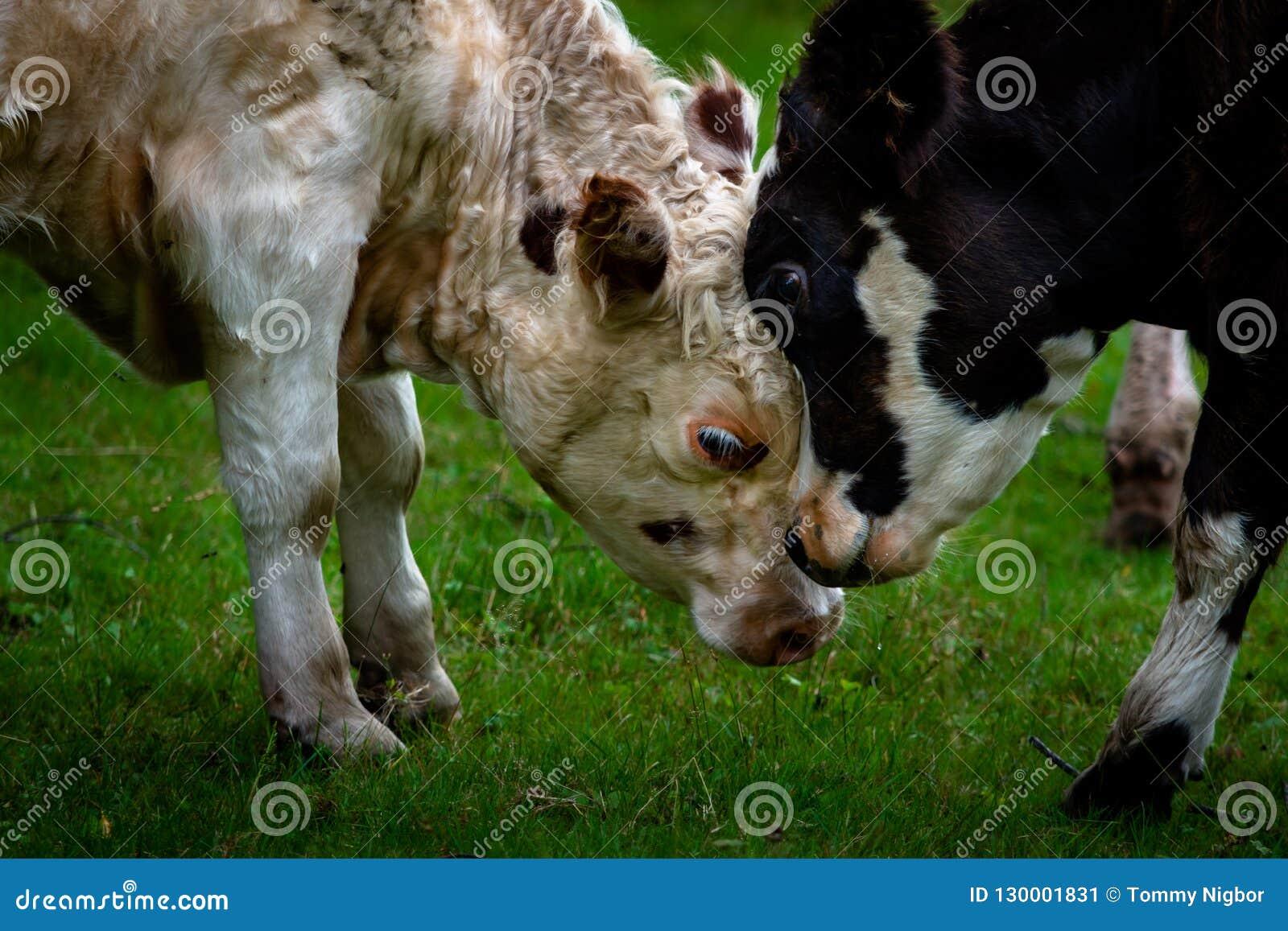 Togerther confinante delle teste del vitello e della madre su erba verde