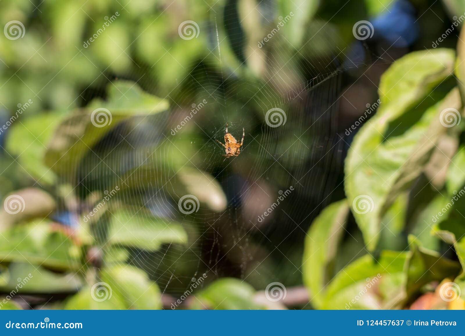 Toile d araignée de la chasse