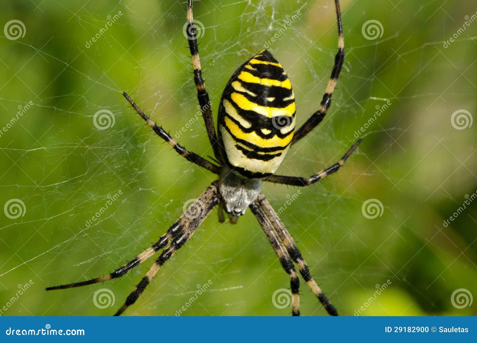 Toile d 39 araign e de bruennichi d 39 argiope d 39 araign e de gu pe de plan rapproch photo stock - Toile d araignee en papier ...