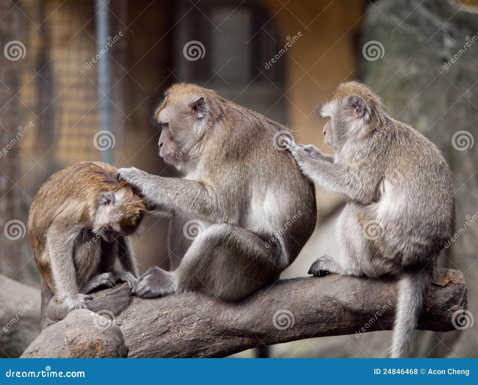 Toilettage de trois singes (crabe mangeant le macaque).