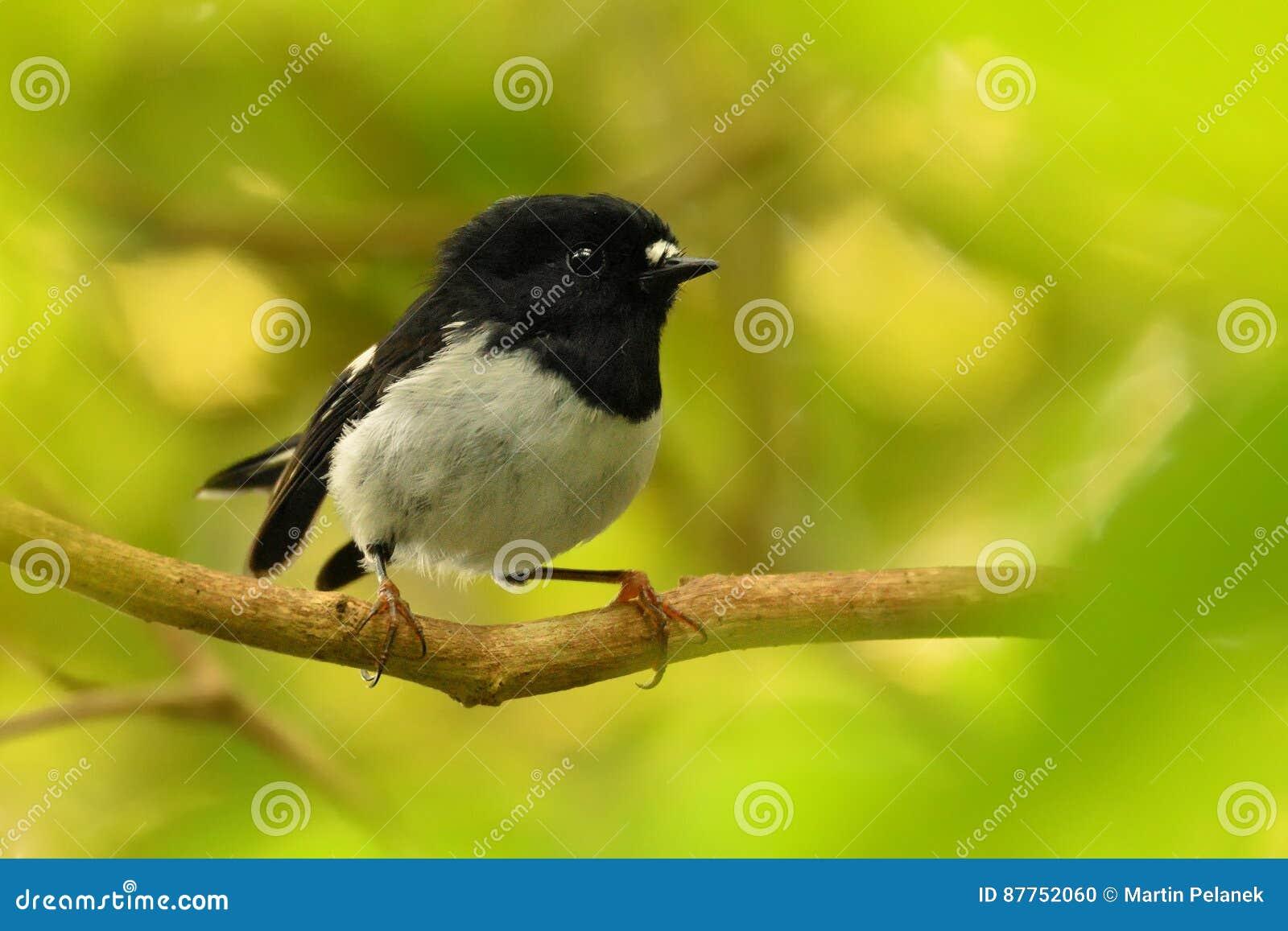 Toitoi del macrocephala de Petroica - isla del norte Tomtit - miromiro - pájaro endémico del bosque de Nueva Zelanda