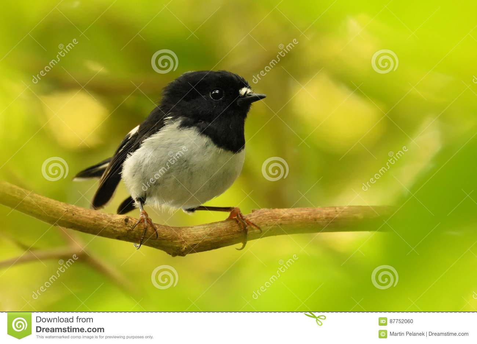 Toitoi van Petroicamacrocephala - het Noordeneiland Tomtit - miromiro - de endemische bosvogel van Nieuw Zeeland