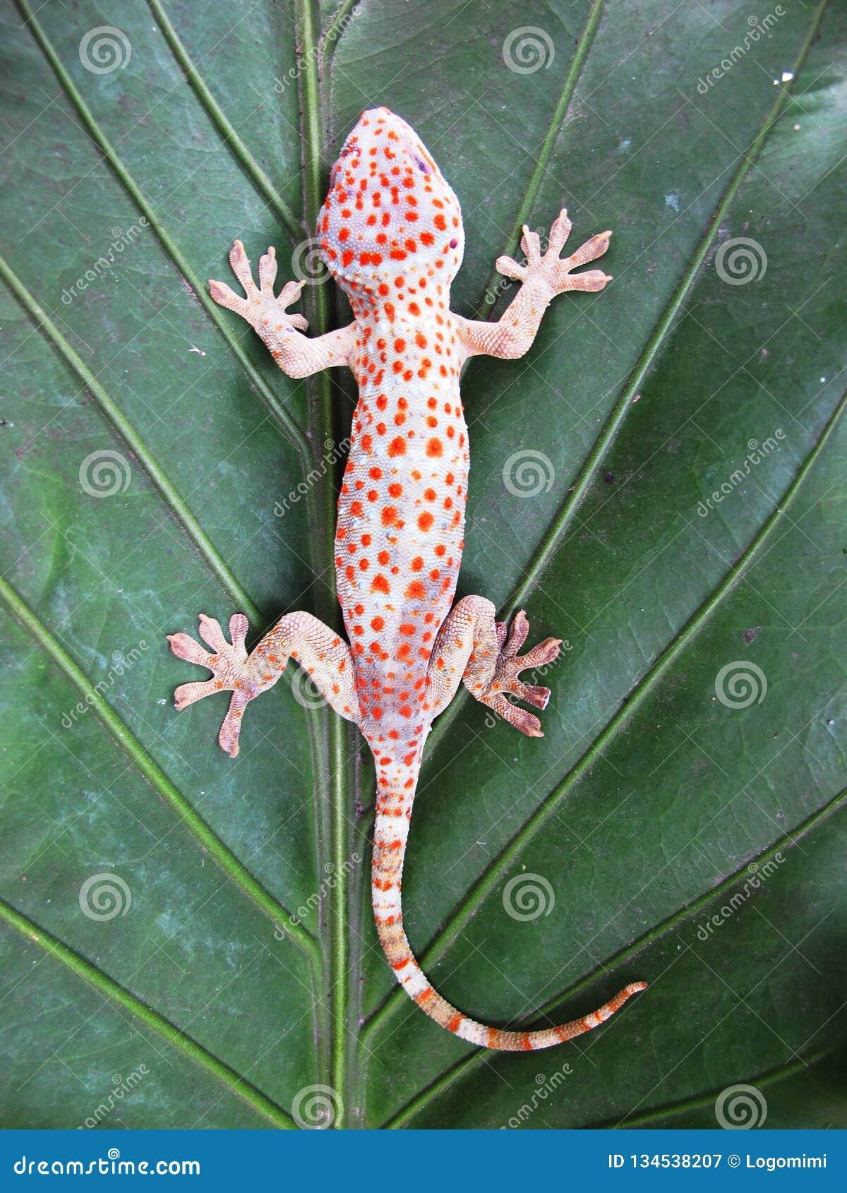 Tokay-Gecko-Gecko-Gecko auf grünem Blatt