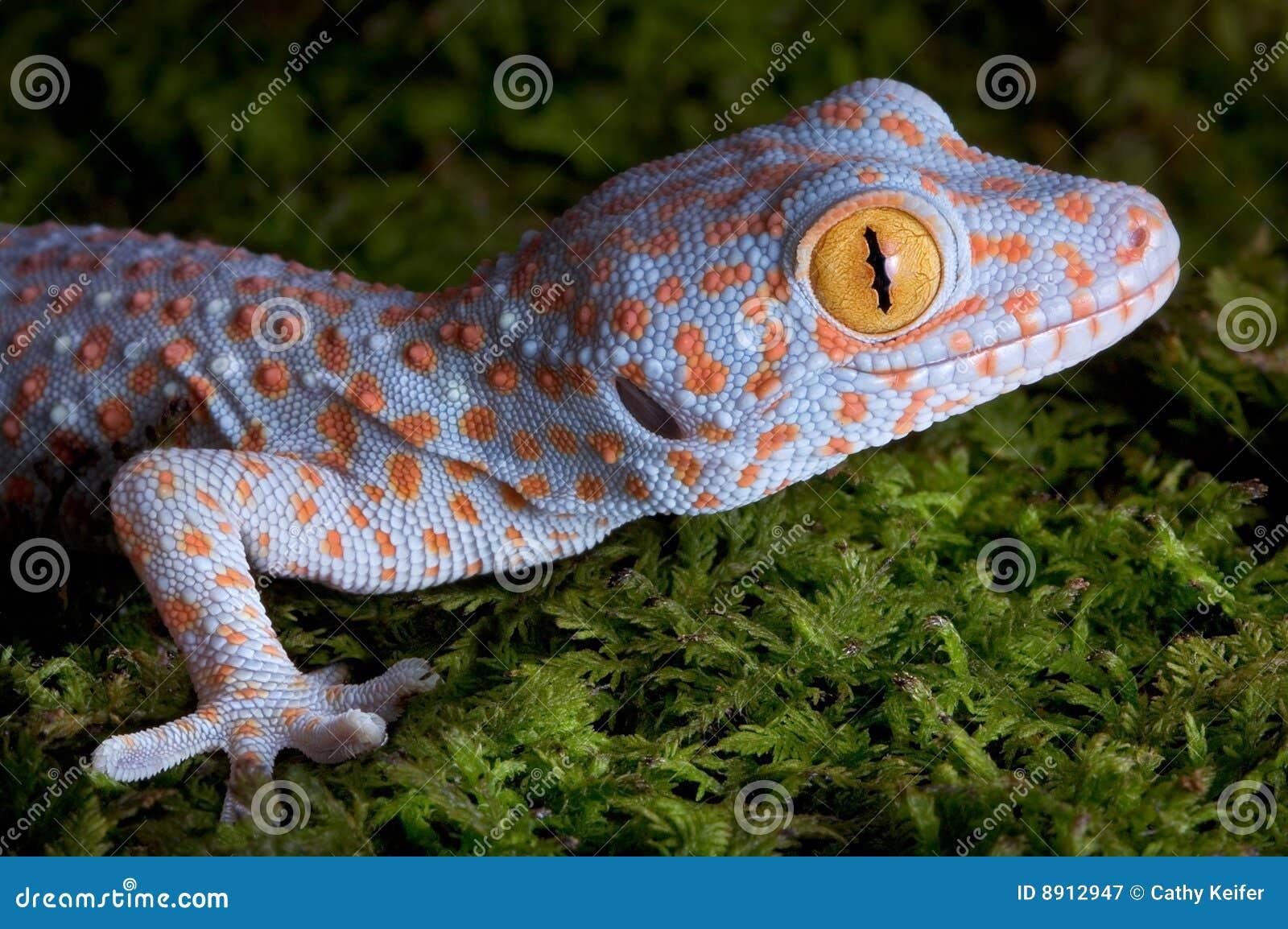 Tokay gecko close up