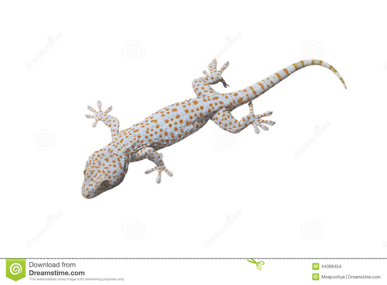Tokay Gecko isolated.