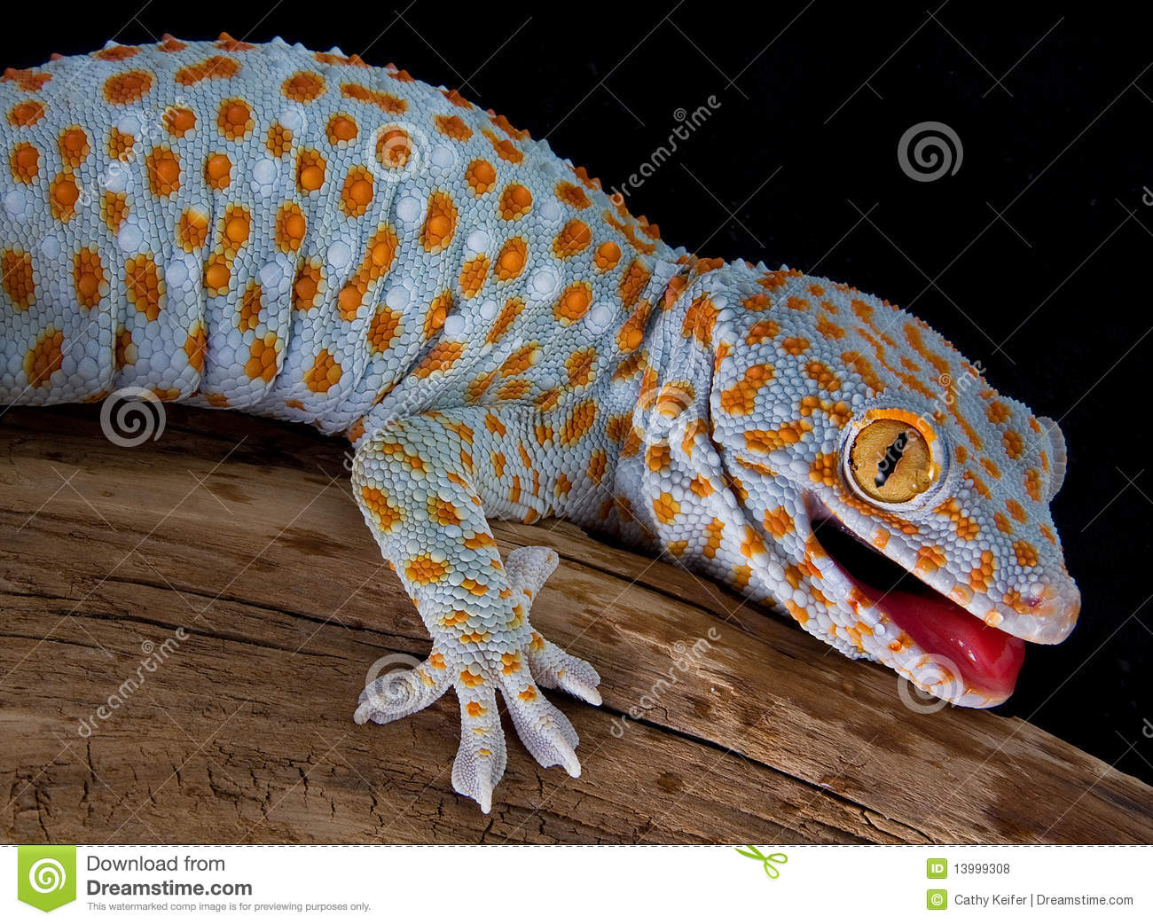 Tokay gecko with mouth open