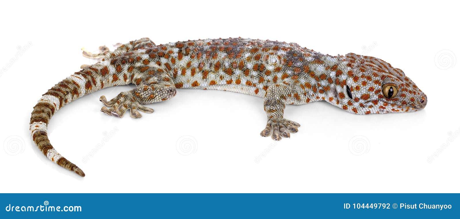 tokay gecko gekko gecko against white background stock photo