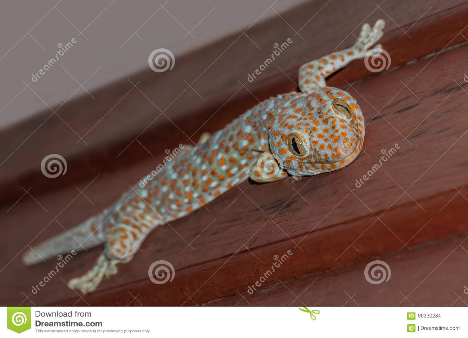 Tokee gekko gecko Tokay μπλε και πορτοκαλιάς σαυρών συνεδρίαση, σε έναν ξύλινο τοίχο και χαμόγελο