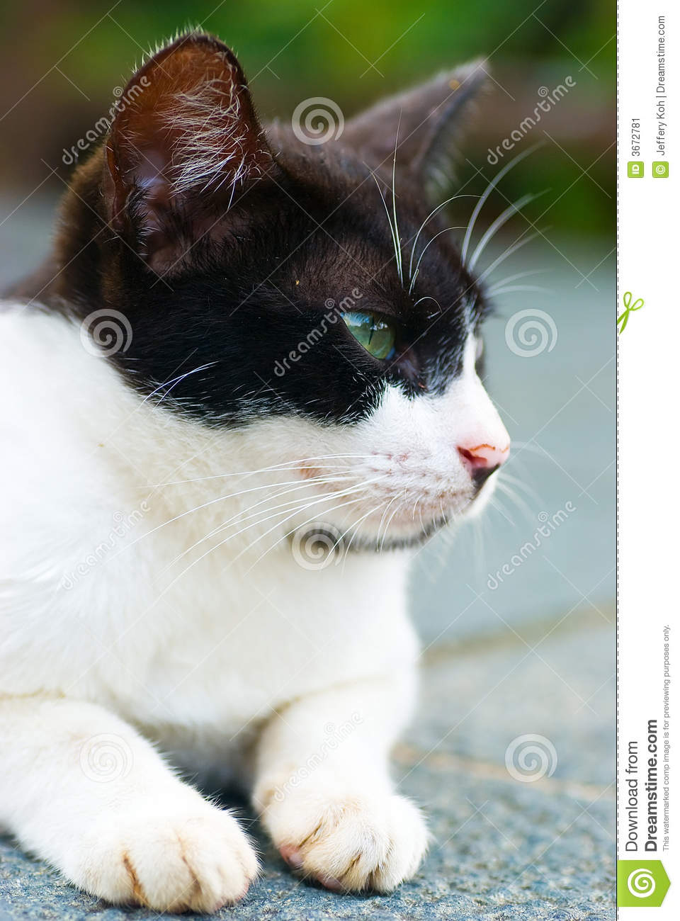 Tom Cat Stock Image Image Of Curious Whiskers Animal