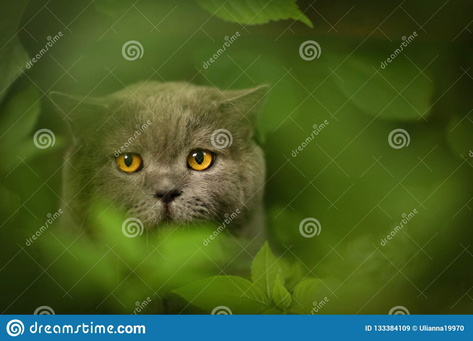 Tom male cat outdoor summer photo