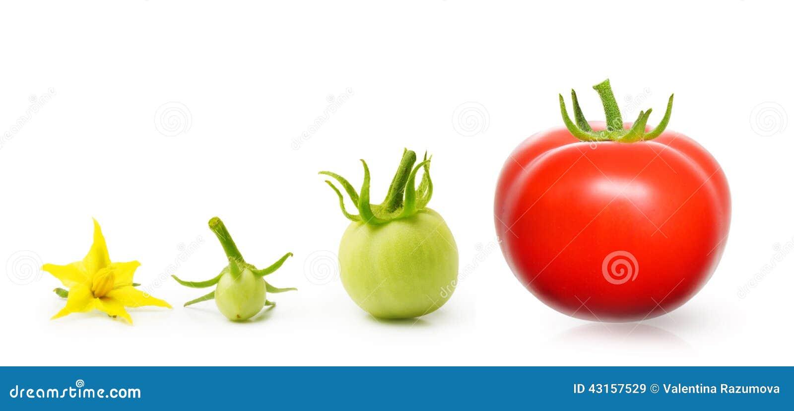 Tomaat van geïsoleerde bloem