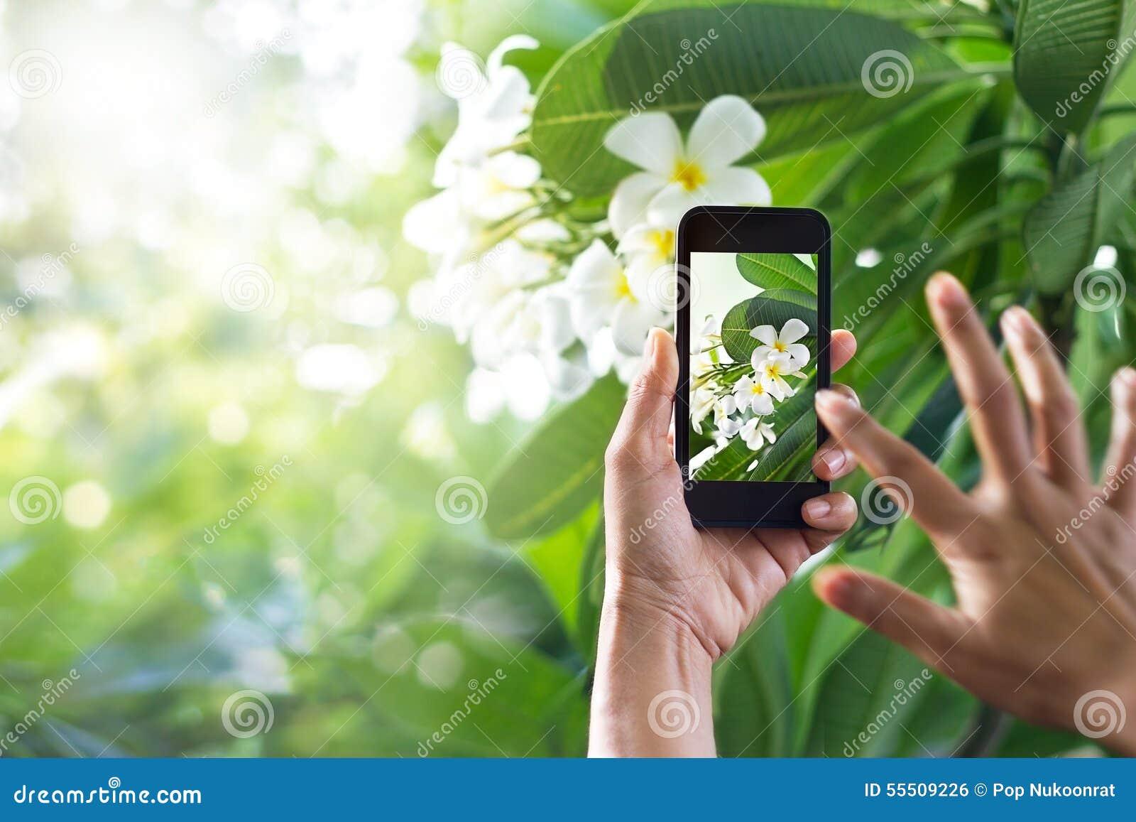 Tomando a imagens a flor branca com o telefone esperto móvel na natureza