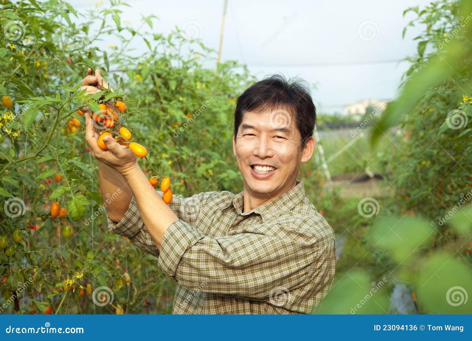 Tomate asiático de la explotación agrícola del granjero