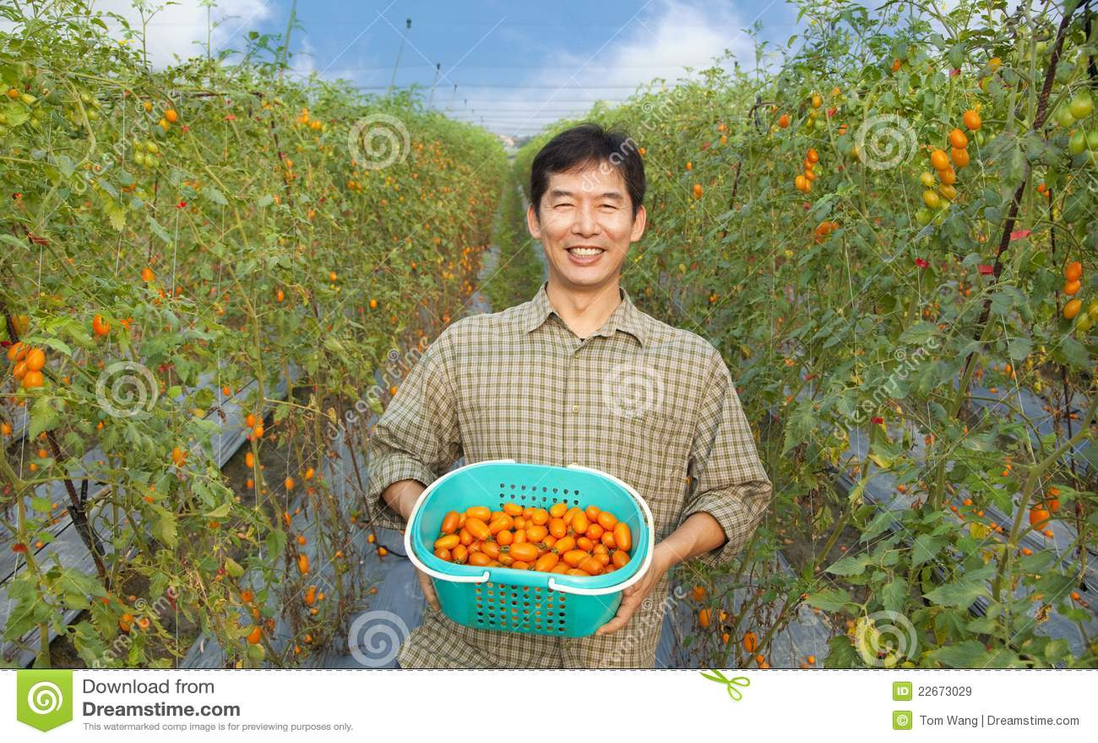 Tomate asiático feliz de la explotación agrícola del granjero