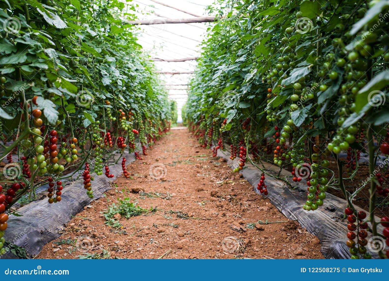 Tomate-cerise Rouge Tomates-cerises Grandissantes Dans Les Pots Et ...