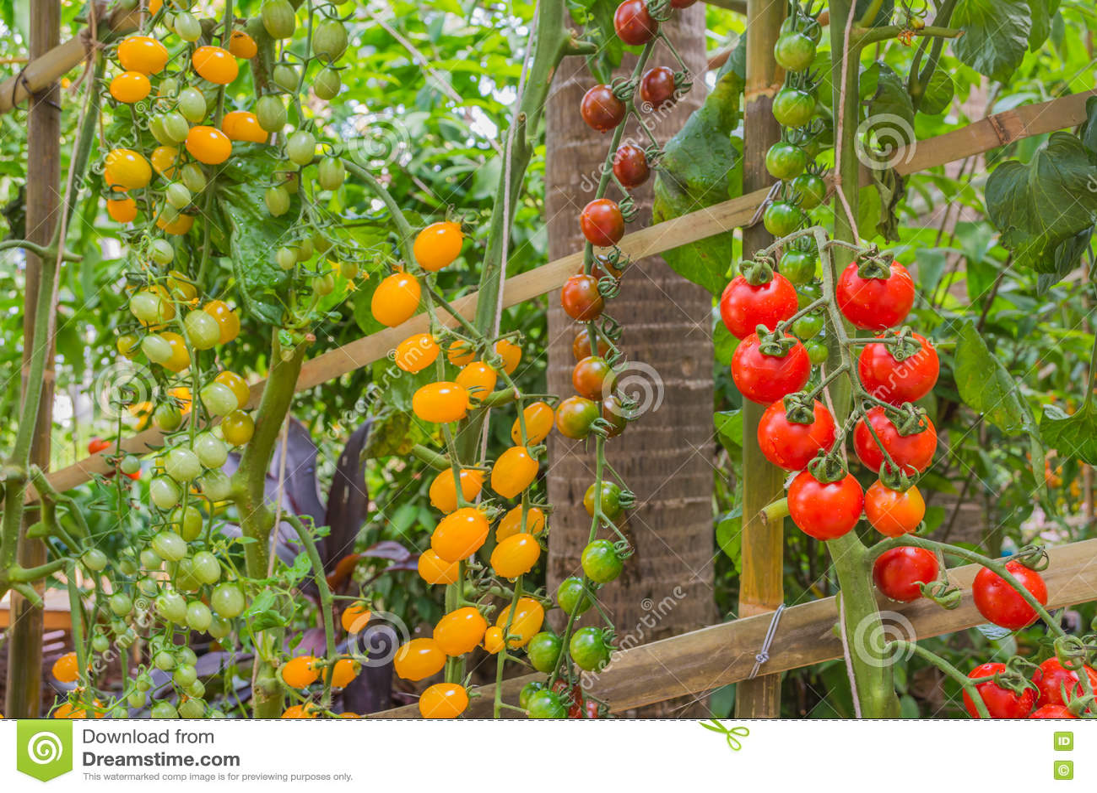 Tomate dans le jardin