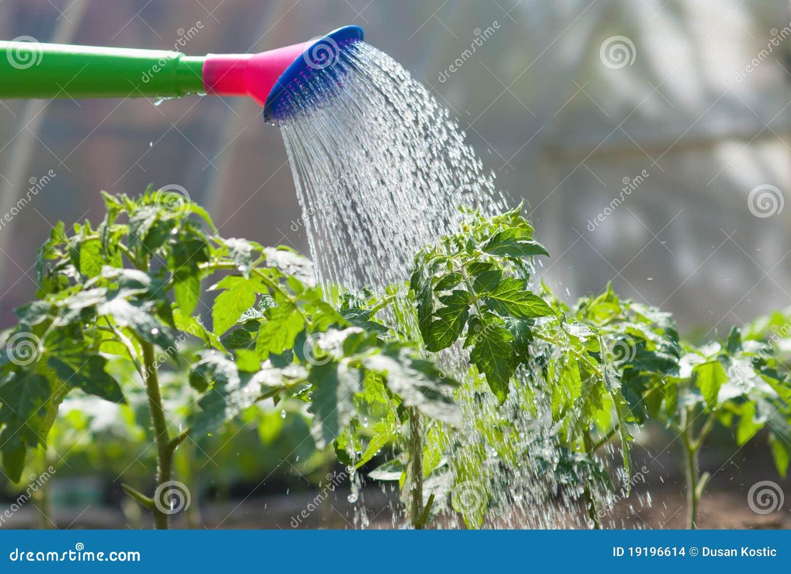 Tomate de riego de la planta de semillero imagenes de for Aspersores para riego de jardin