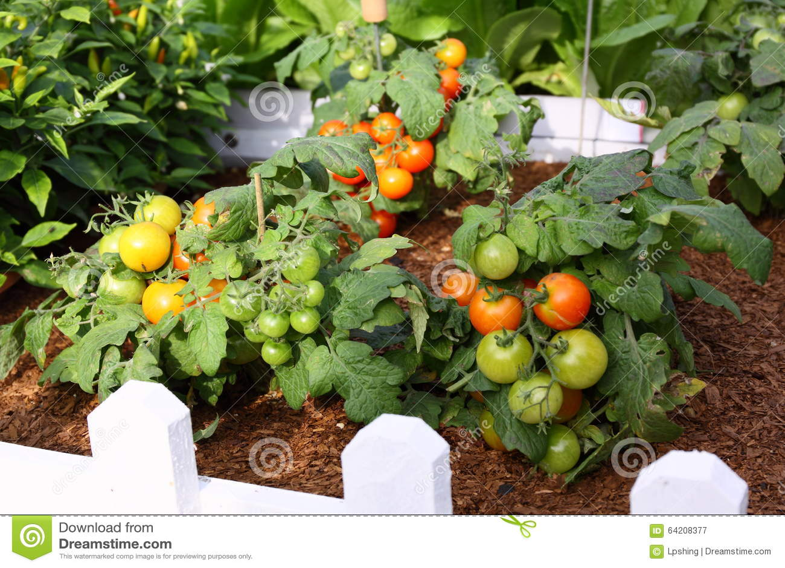 Tomate en jardín
