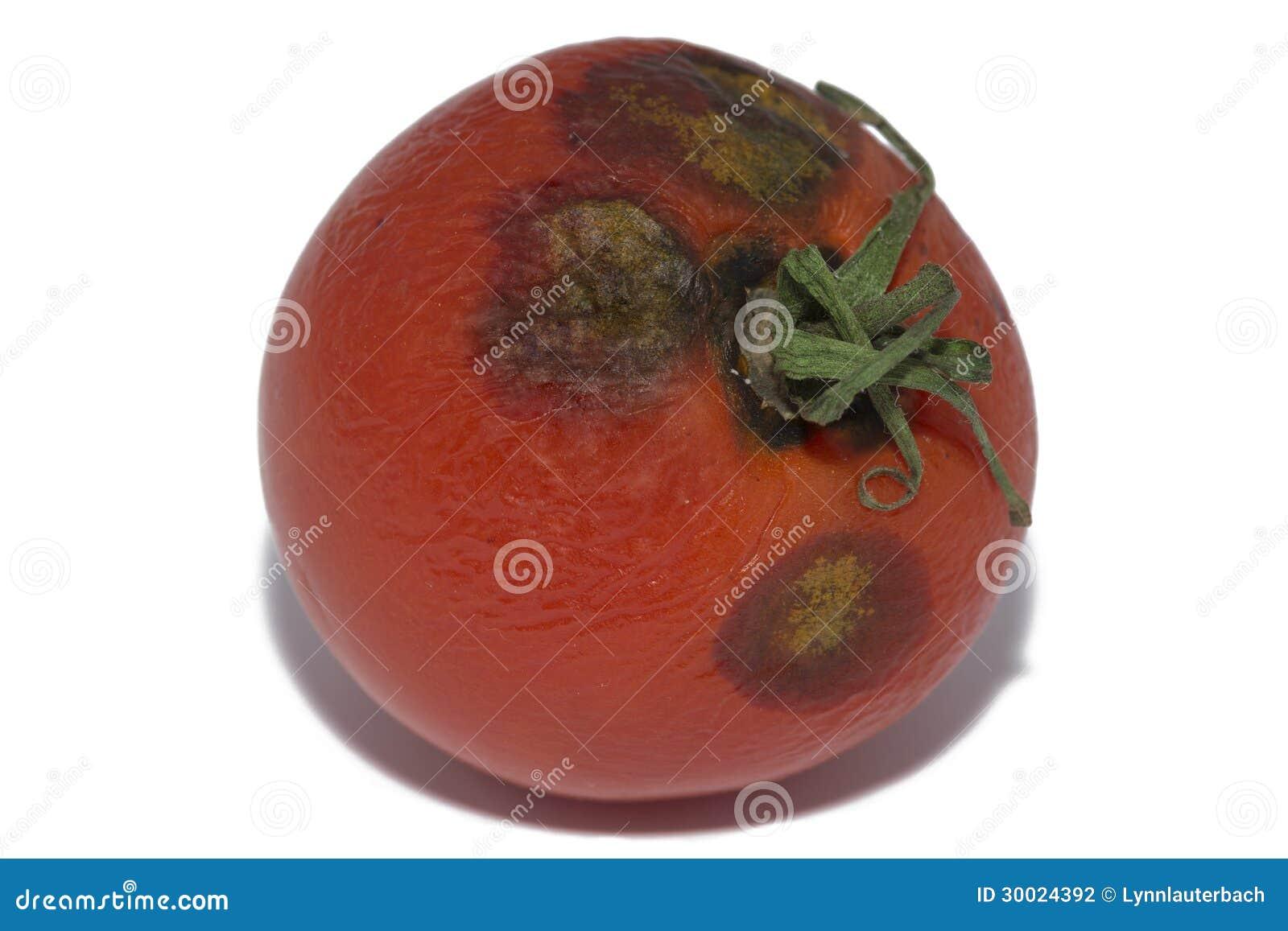 Fermez vous vers le haut de la tomate moisie sur le blanc for Vers dans les tomates