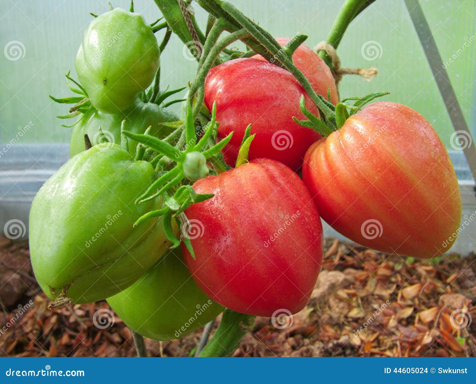 Tomate Rojo Del Corazón Del Buey Foto De Archivo Imagen De Alimento Travieso 44605024