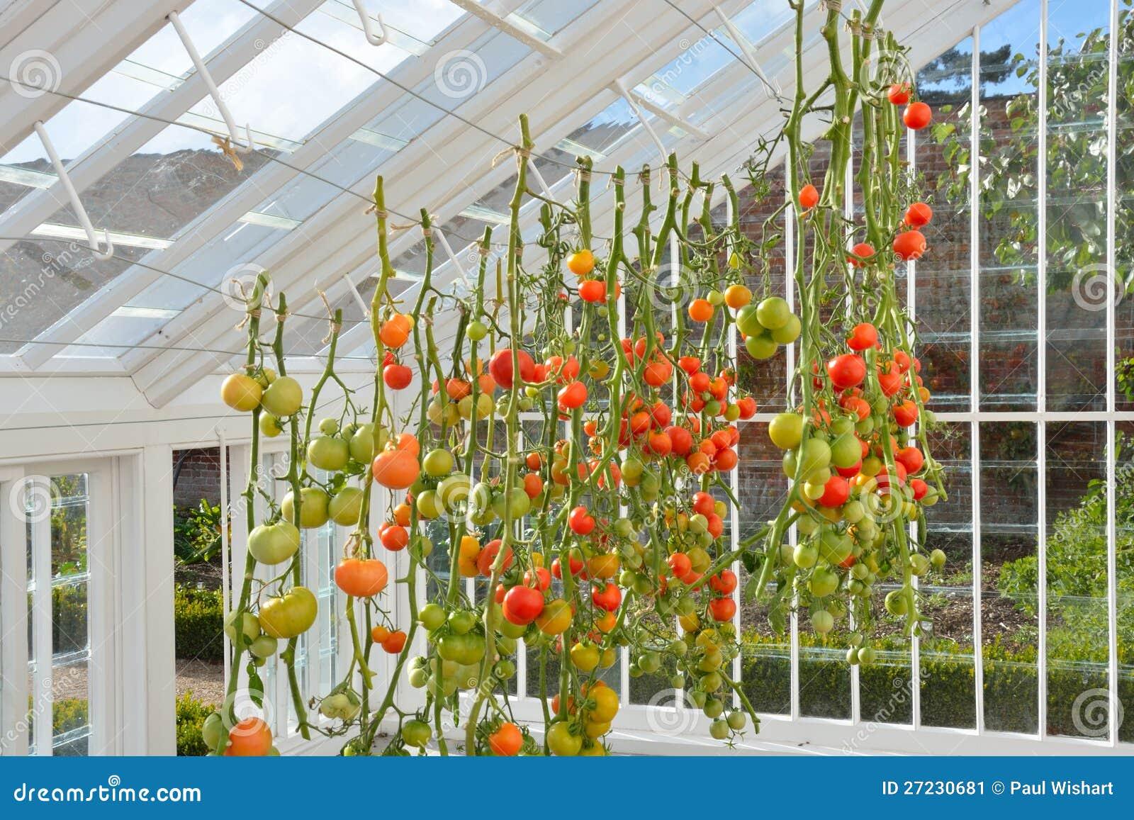 Tomaten Die Im Gewachshaus Wachsen Stockbild Bild Von Frucht