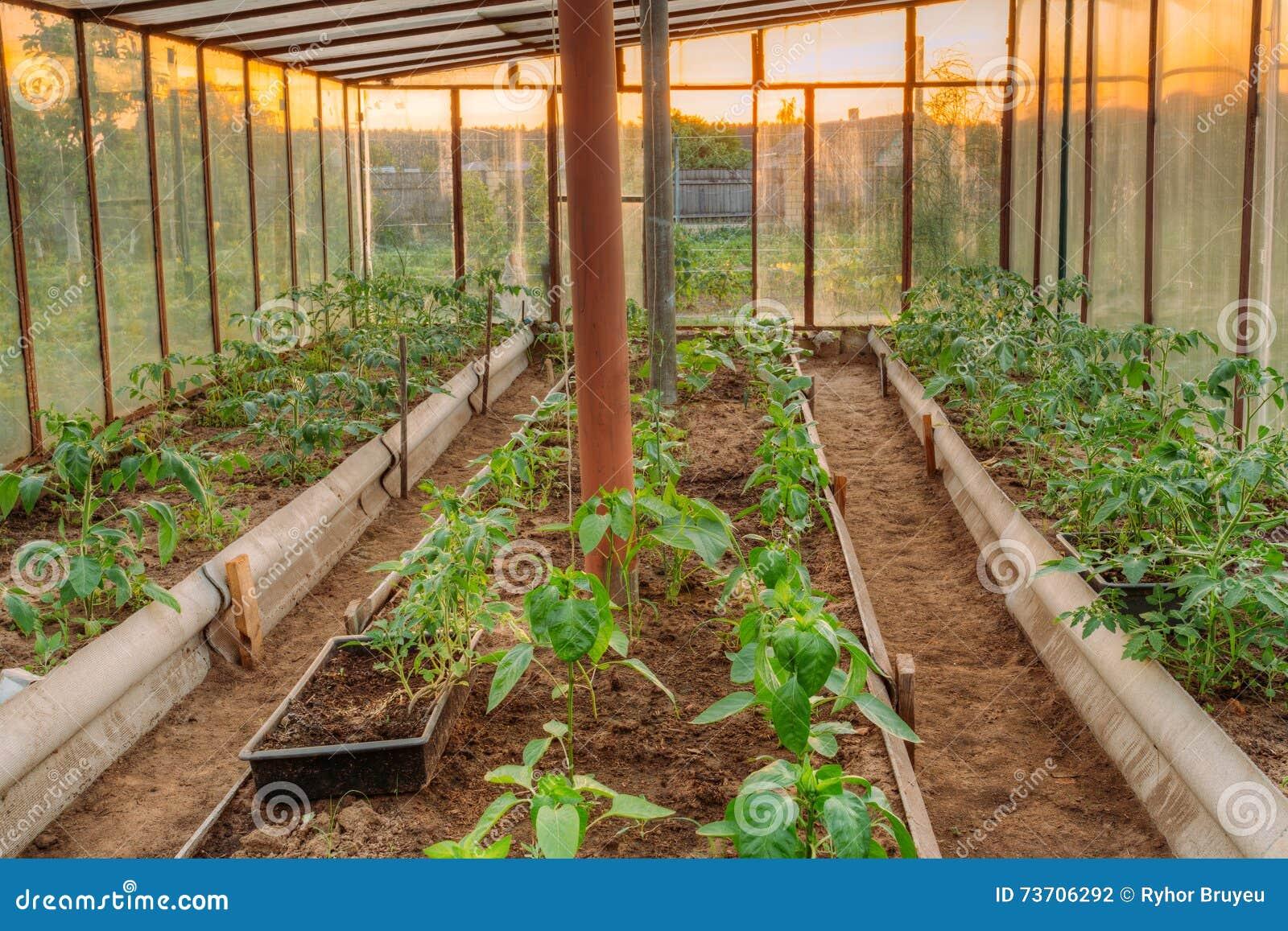 Tomaten Gemuse Zucht In Den Hochbeeten In Gemusegarten A Stockfoto