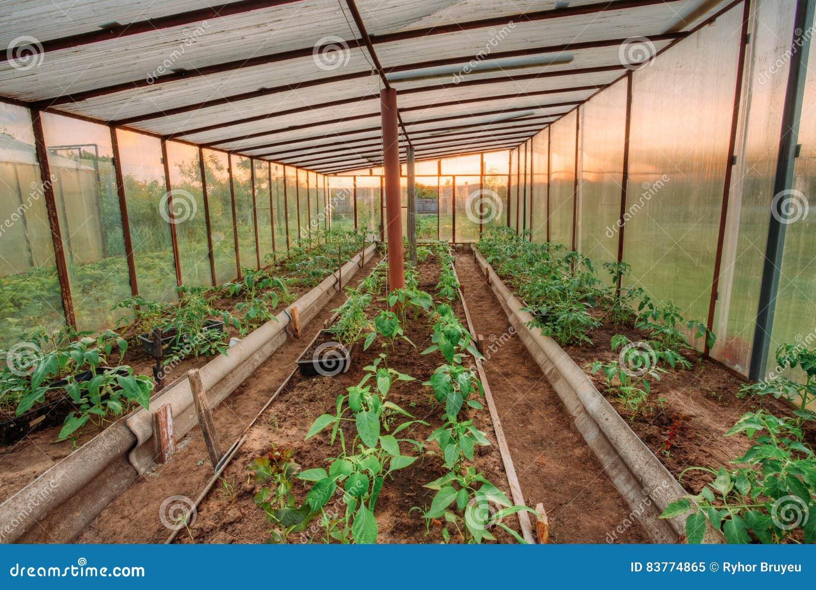 Tomaten Gemuse Zucht In Den Hochbeeten Im Gemusegarten Stockbild