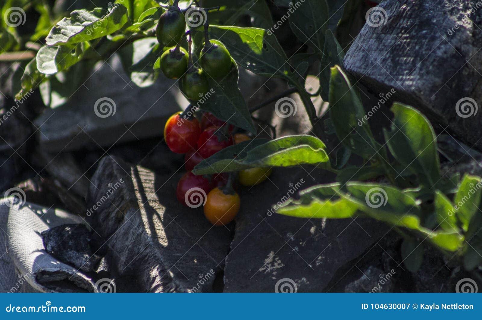 Download Tomaten Ontop Van Puin En As Stock Afbeelding - Afbeelding bestaande uit groeide, gebrand: 104630007
