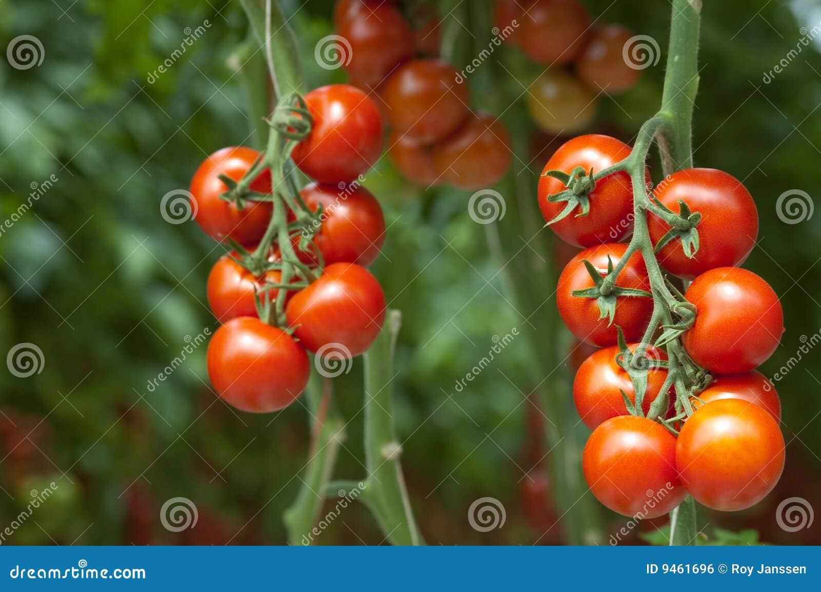 Tomaten op de wijnstok