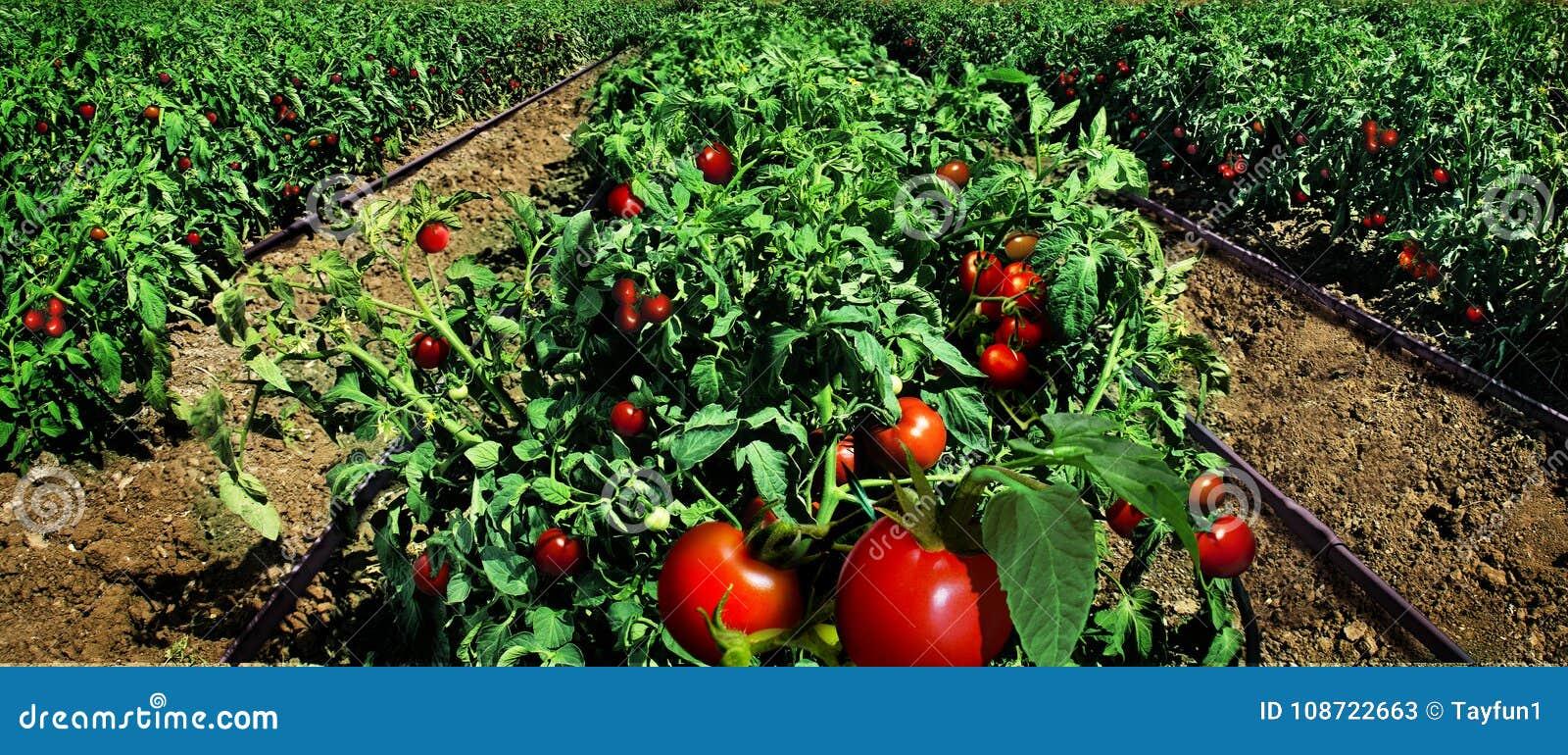 Tomatengebied klaar voor oogst