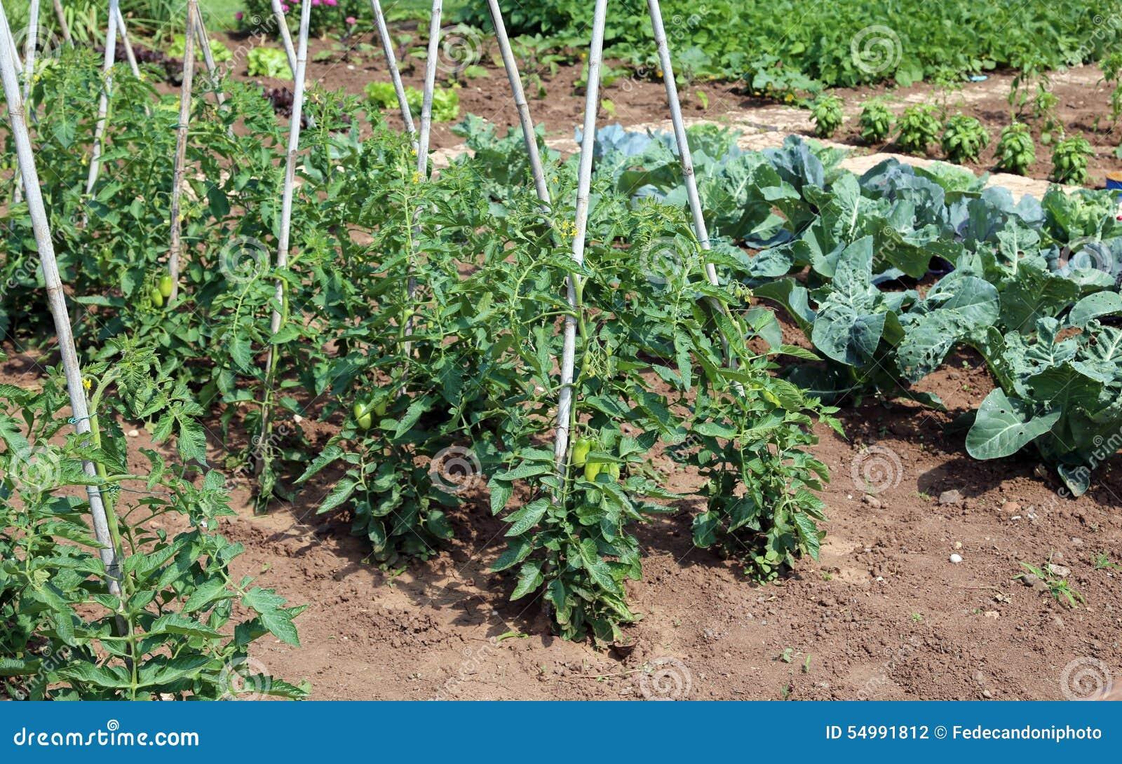 tomatenpflanzen im garten des landwirts stockfoto bild. Black Bedroom Furniture Sets. Home Design Ideas