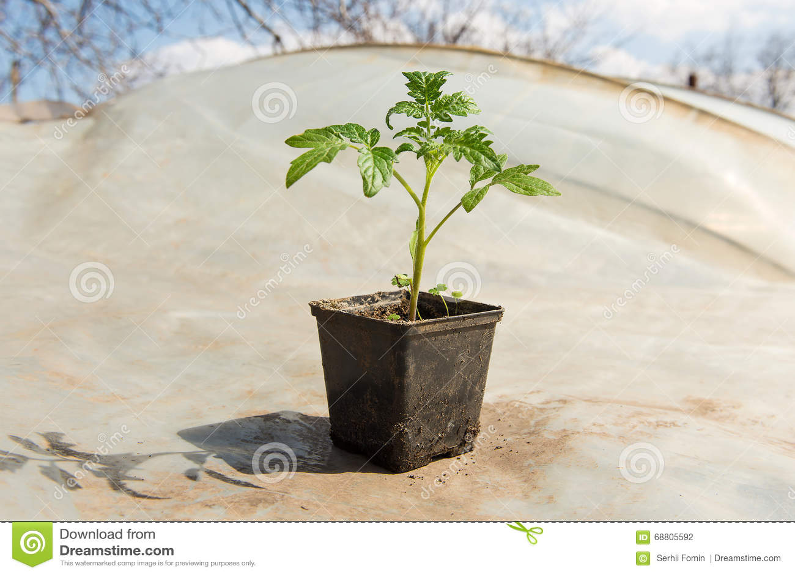 Tomatenpflanzen Und Gurkenanlagen In Den Gemusegewachshausern