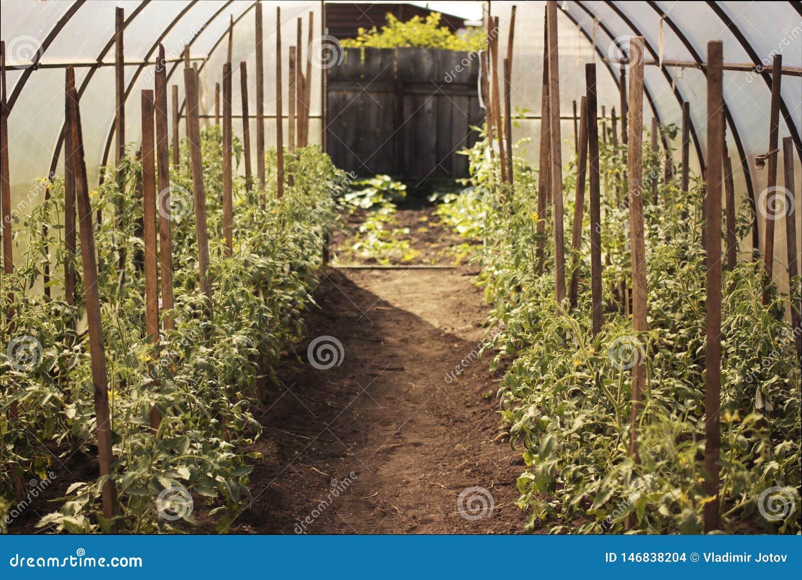 Tomater i växthus Organiskt begrepp