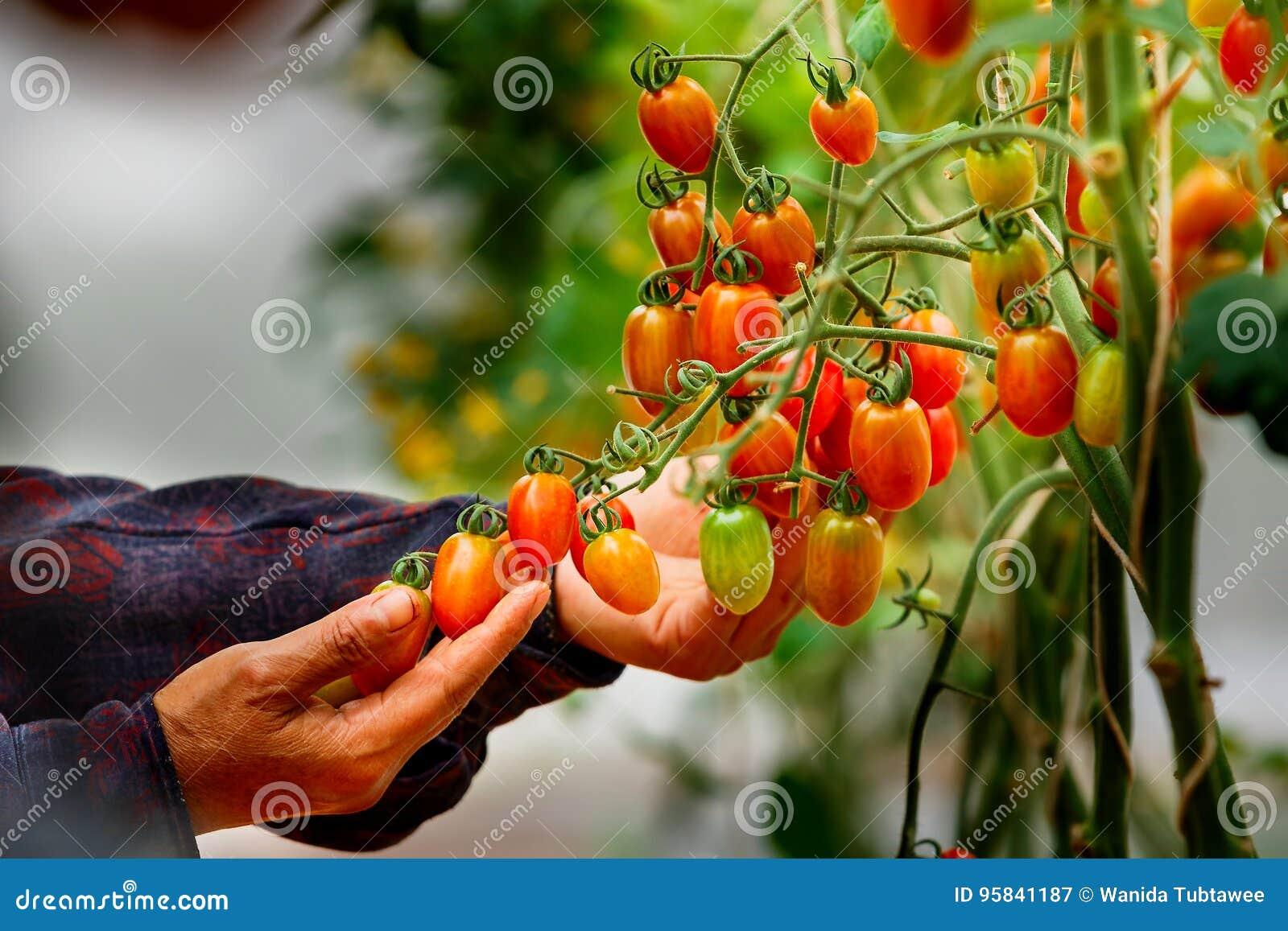 Tomates, agriculteur organique vérifiant des tomates