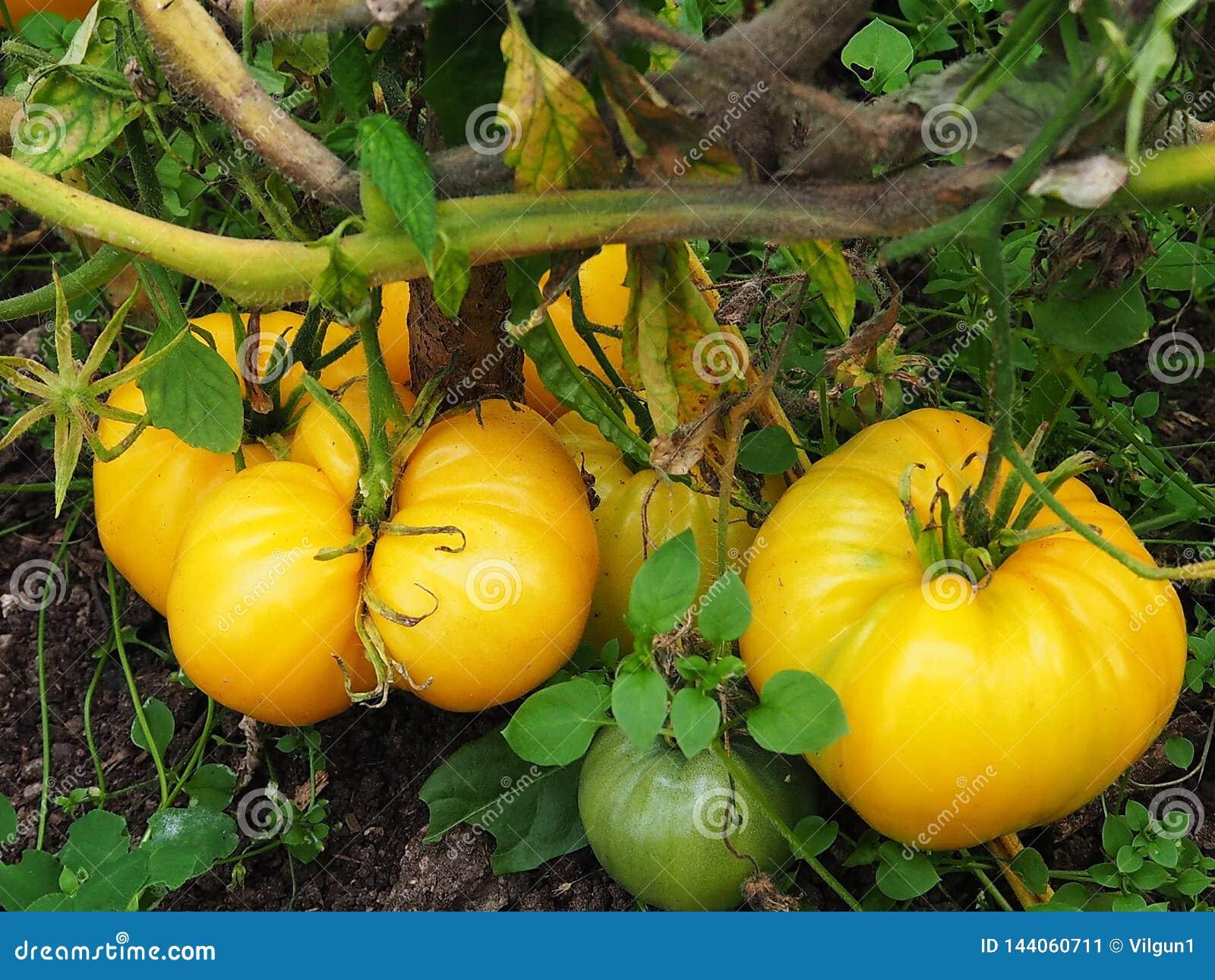 Tomates amarillos grandes, naturaleza hermosa del otoño, detalles y primer