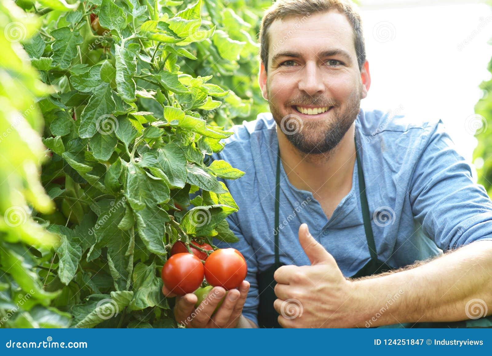 Tomates crescentes do fazendeiro feliz em uma estufa