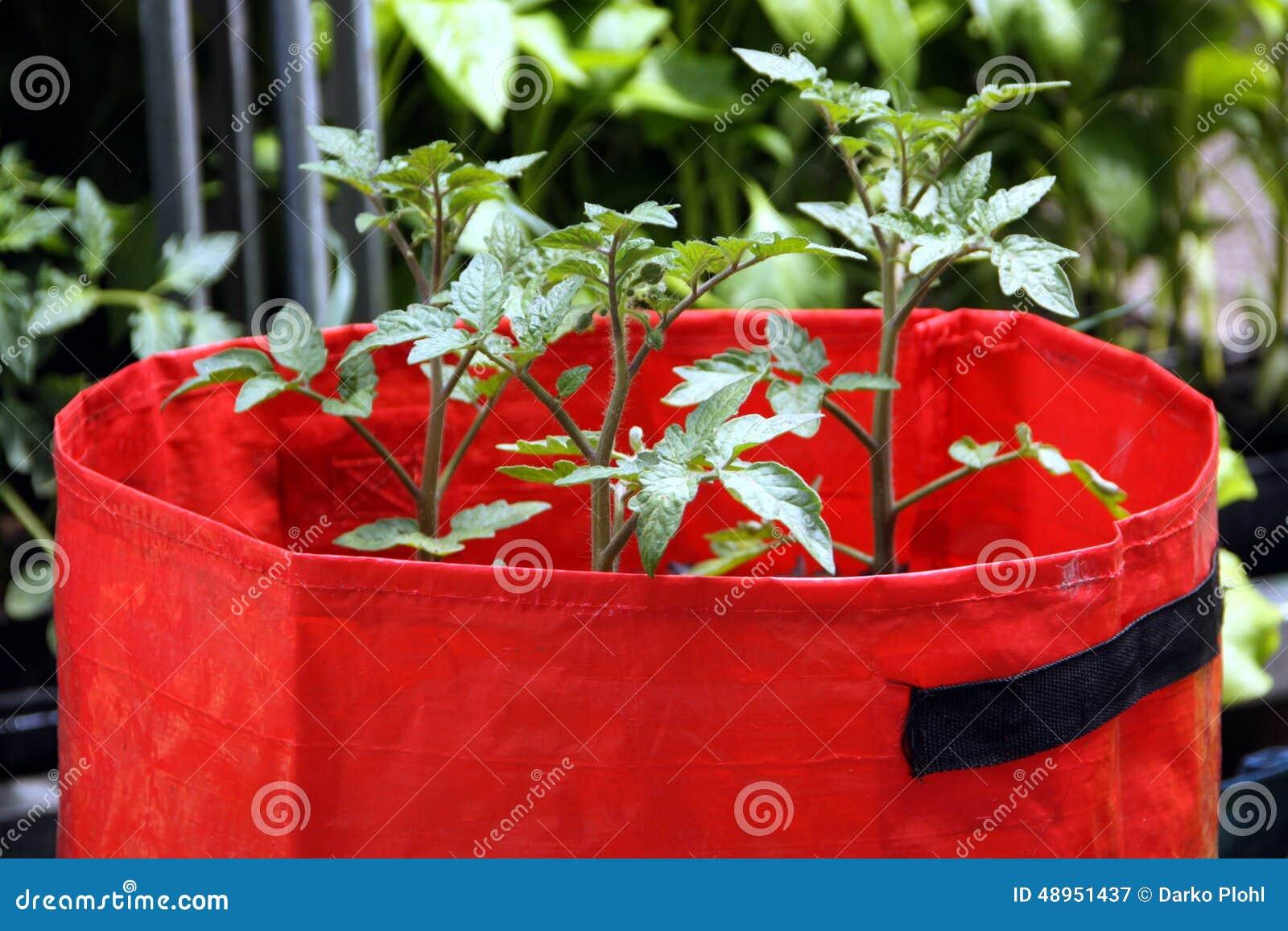 Tomates crescentes em uns sacos de plástico