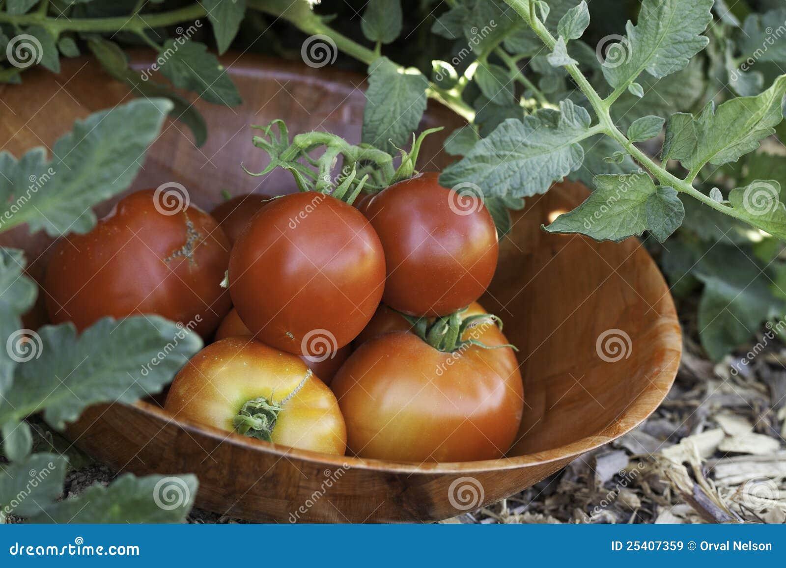Tomates dans le jardin