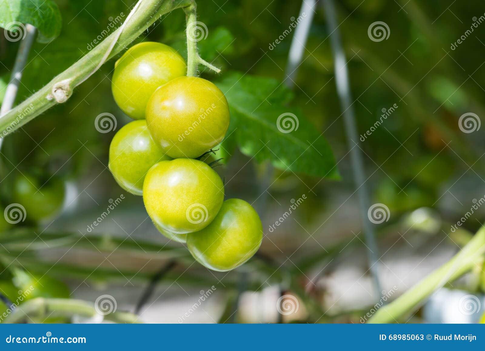 Tomates de maduración en un invernadero