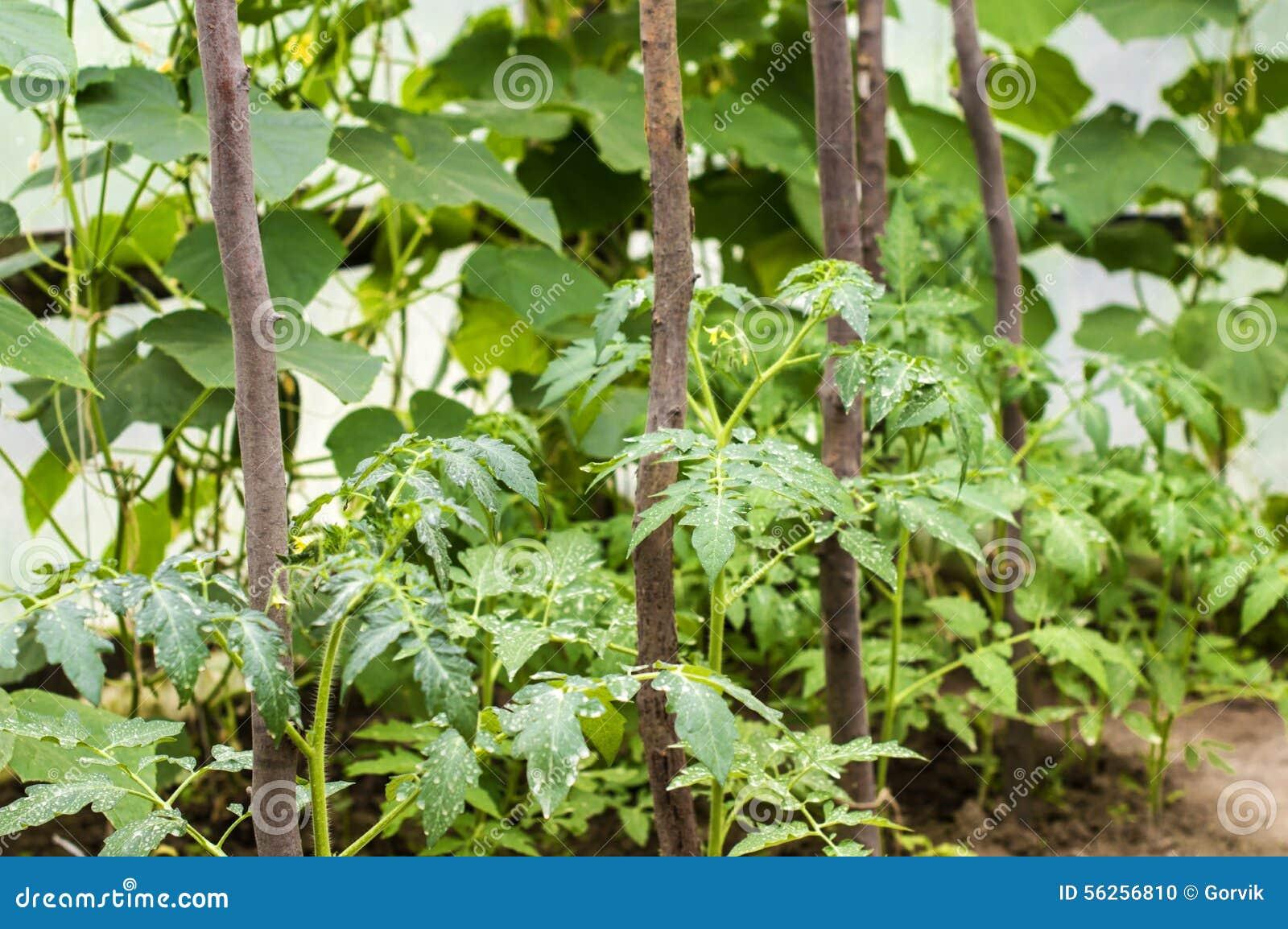Tomates e pepinos crescentes em uma estufa foto de stock - Foto estufa ...
