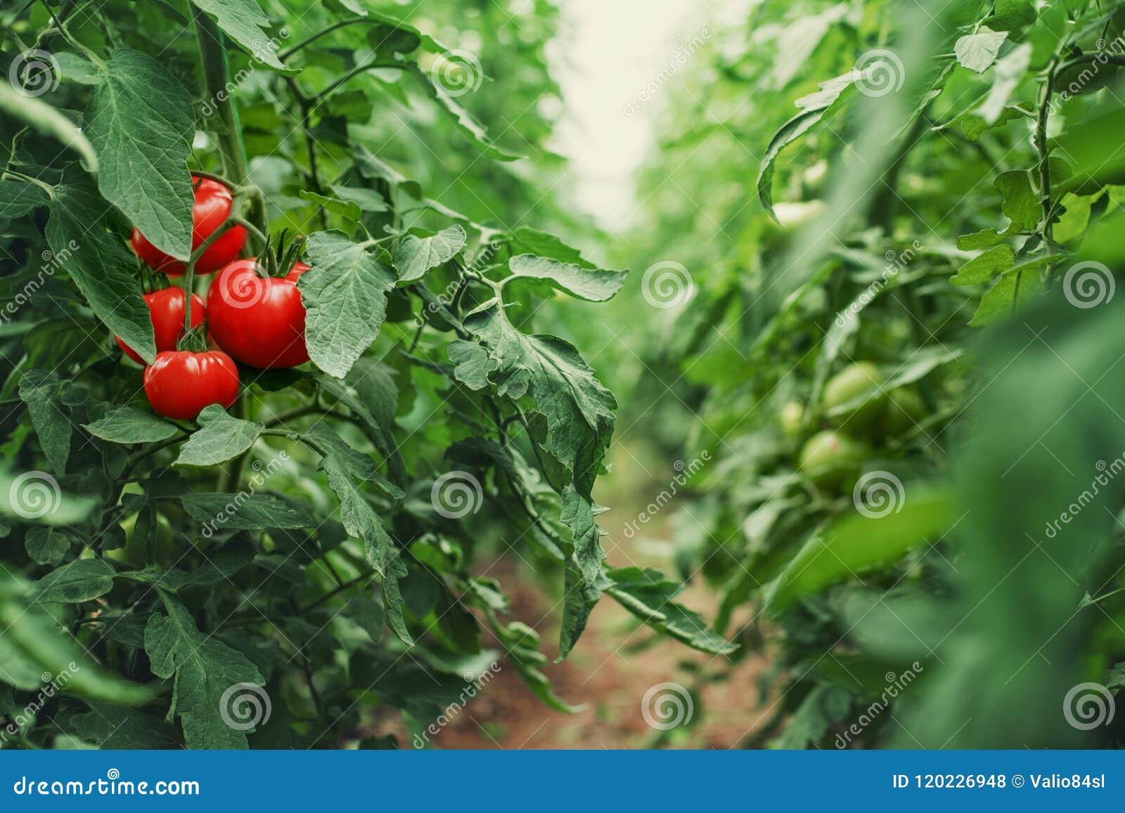 Tomates em uma estufa horticulture vegetais