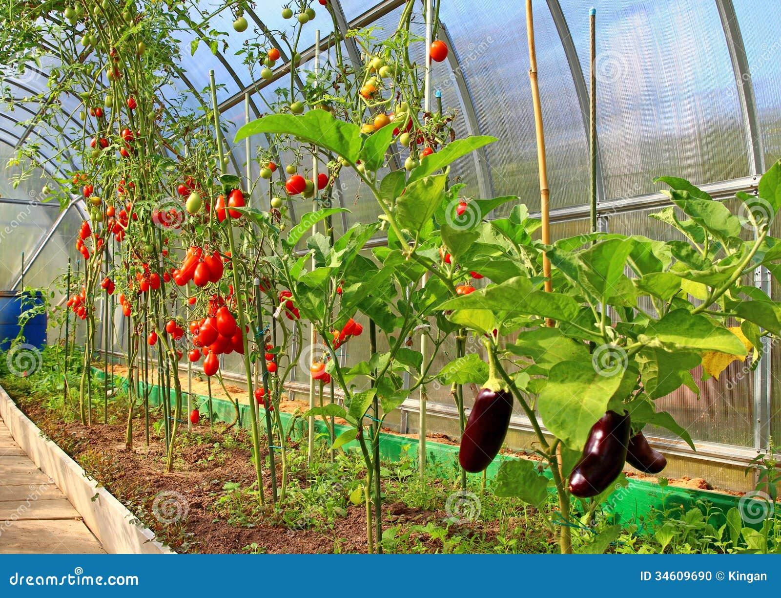 tomates et aubergine de maturation en serre chaude photo stock image du plantation fruit. Black Bedroom Furniture Sets. Home Design Ideas