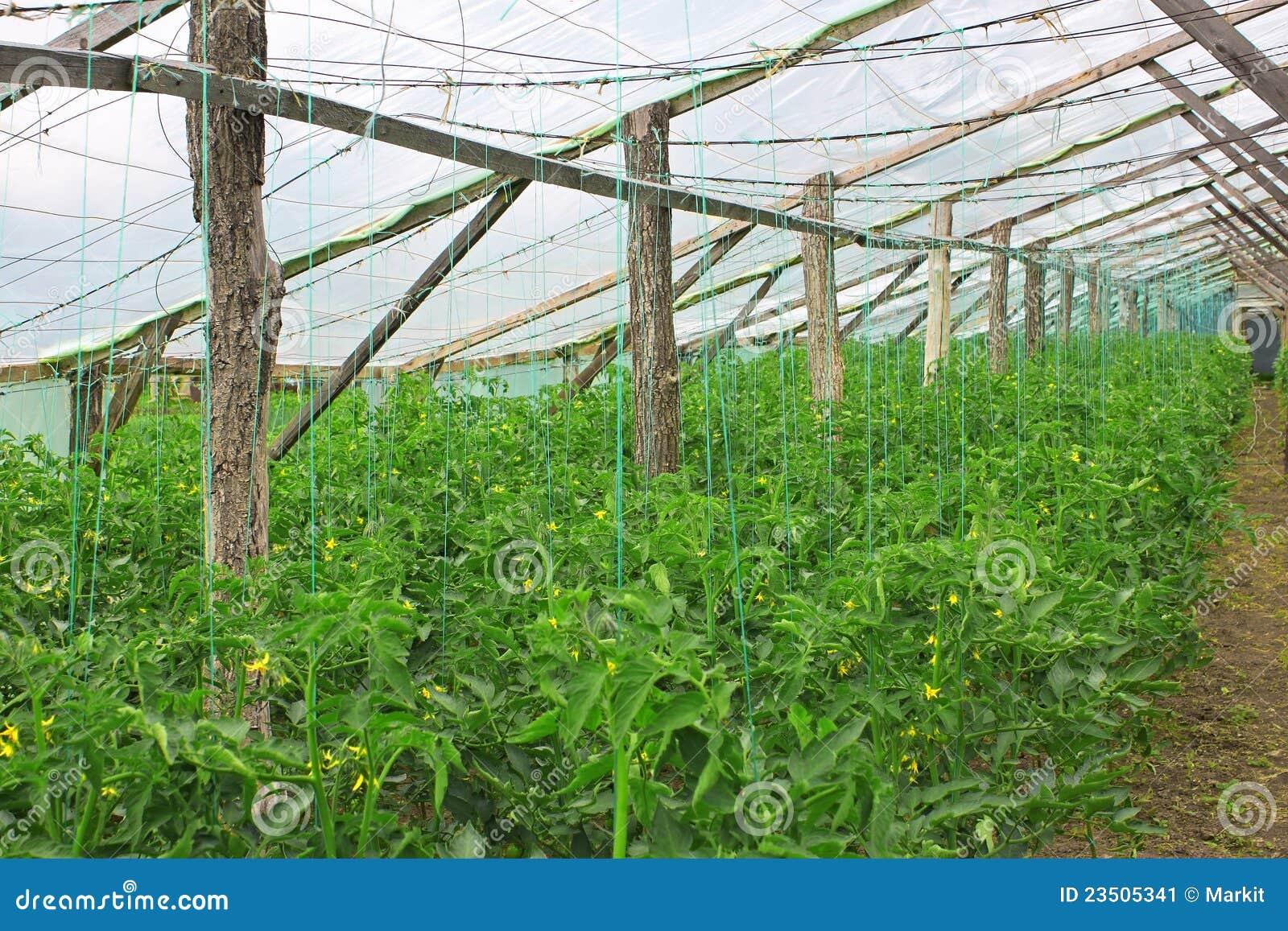 Tomates florecientes en invernadero imagen de archivo for Plantas para invernadero