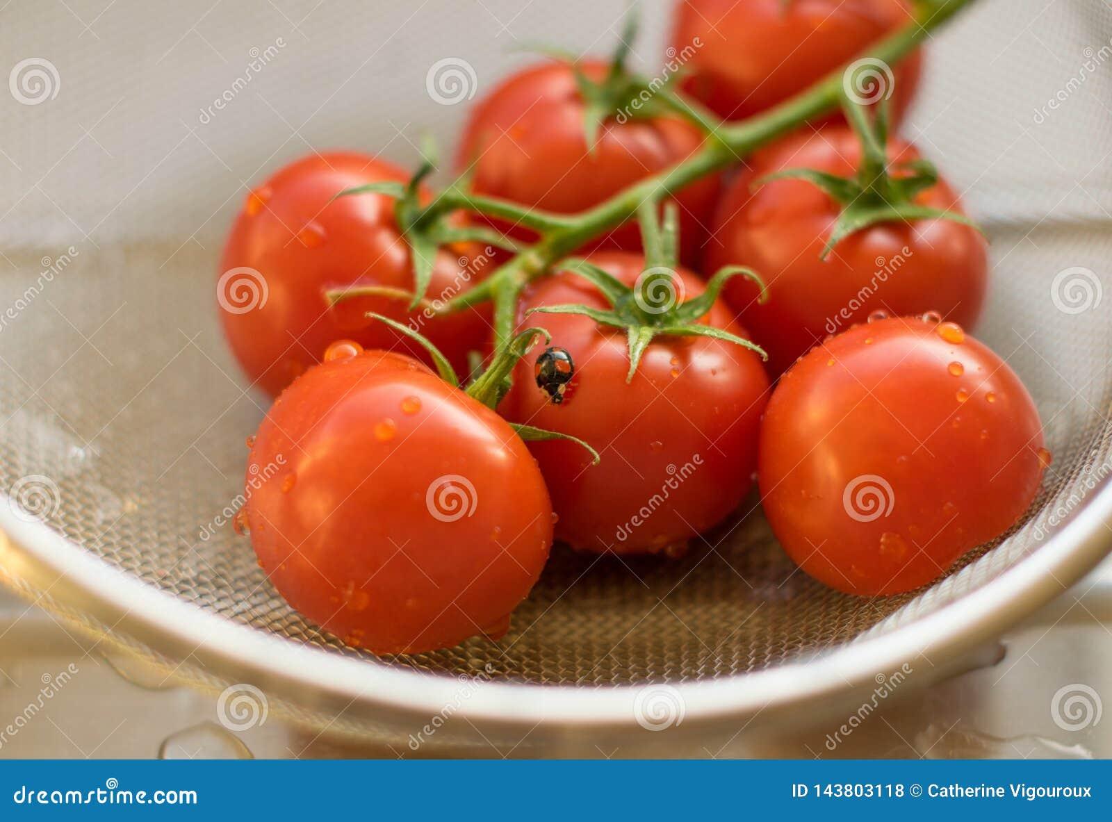 Tomates frescos de la vid lavados en un colador en un tablero de drenaje con una mariquita
