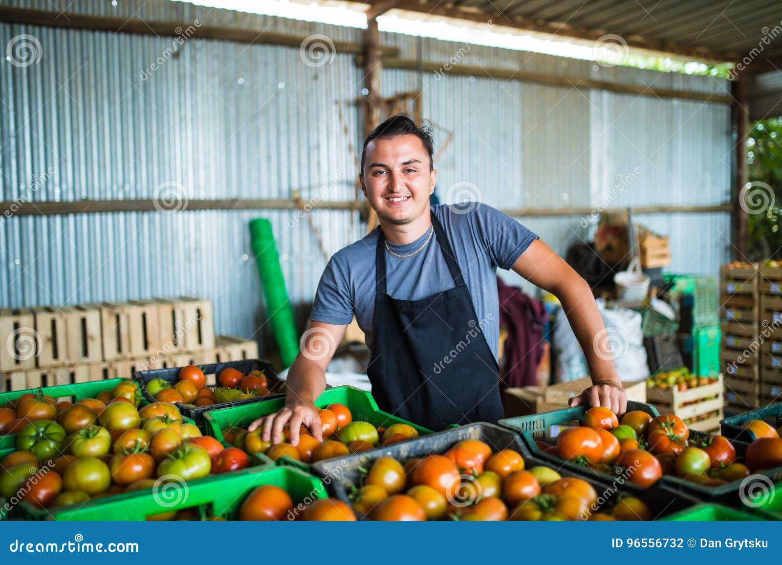 Tomates levando do fazendeiro feliz em uma estufa