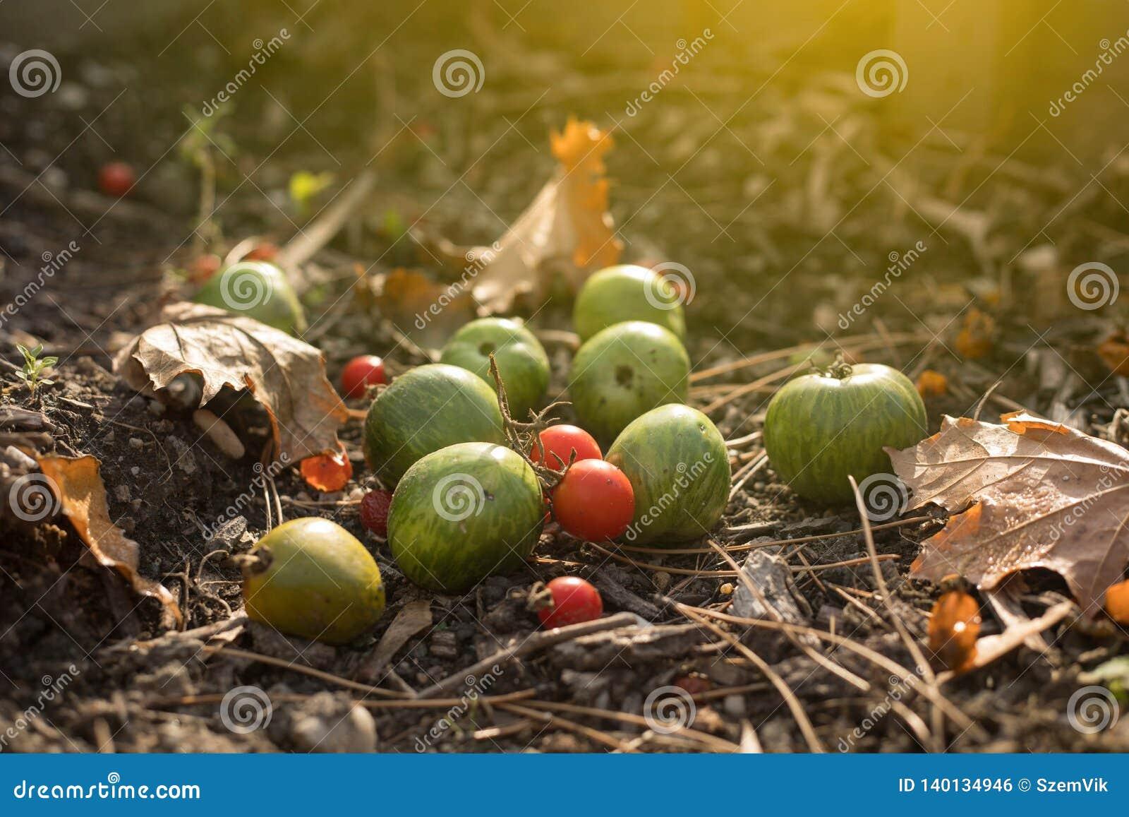 Tomates mûres et non mûres dans le jardin d Autunum