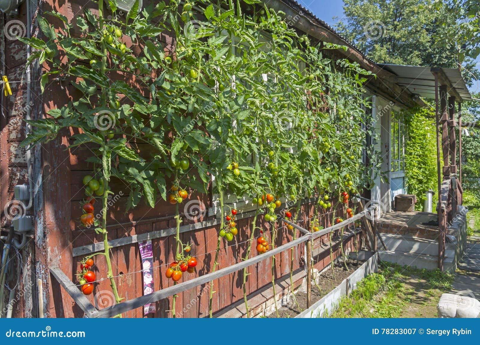 Trendy Tomates Mres Contre Le Mur D Une Maison De Campagne