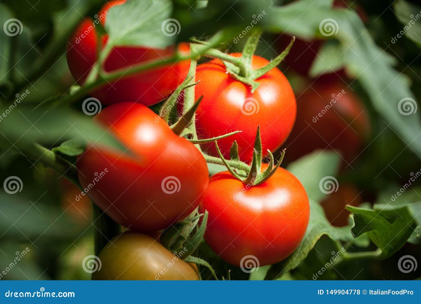 Tomates – macrophotography 'de Pomodori '