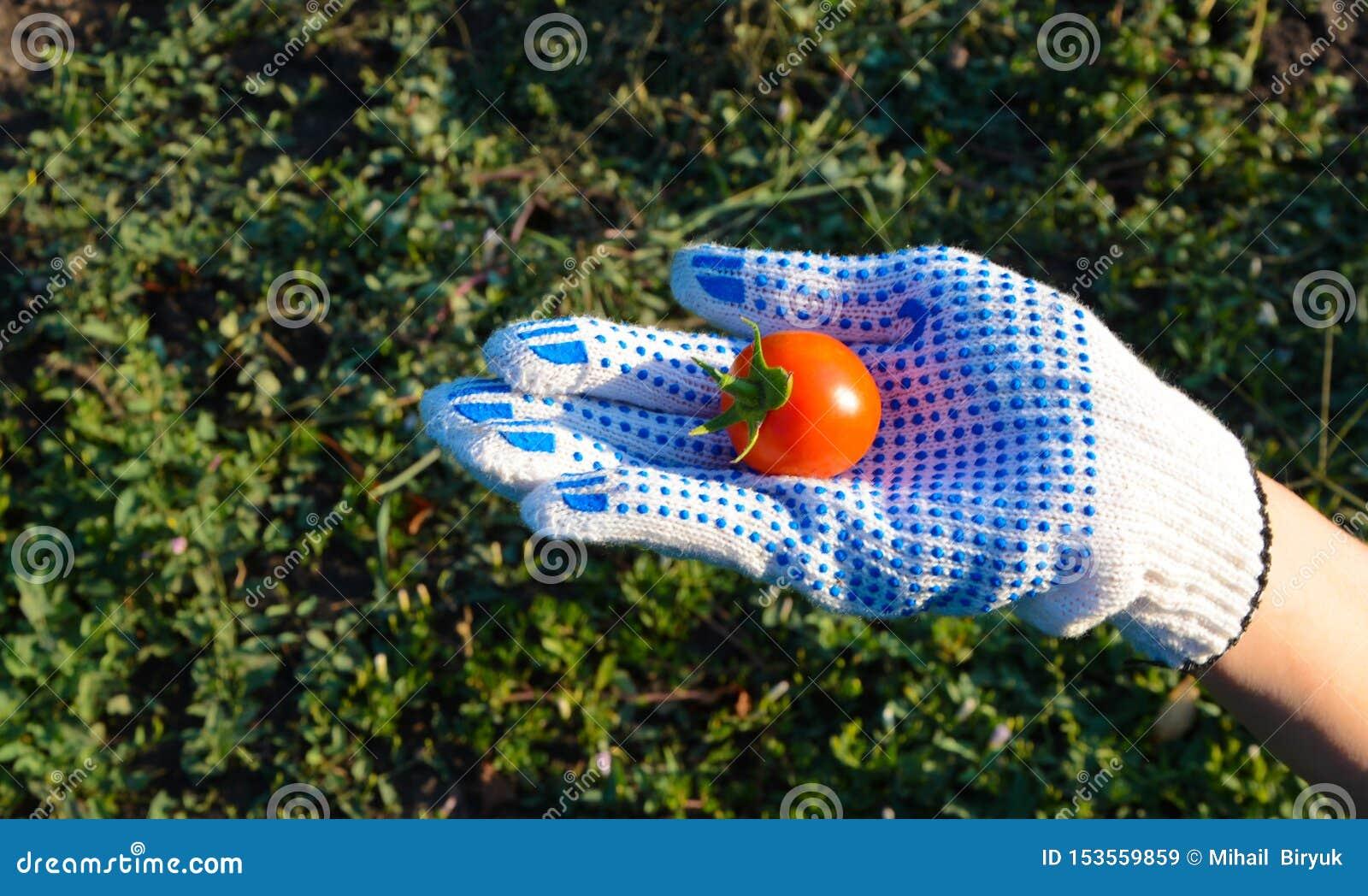 Tomates pequenos Vitamina-ricos apenas arrancados Alimento, vegetais, agricultura